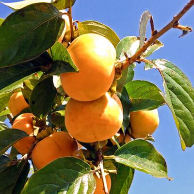 土壌・水も良質で、美味しい柿が育つ