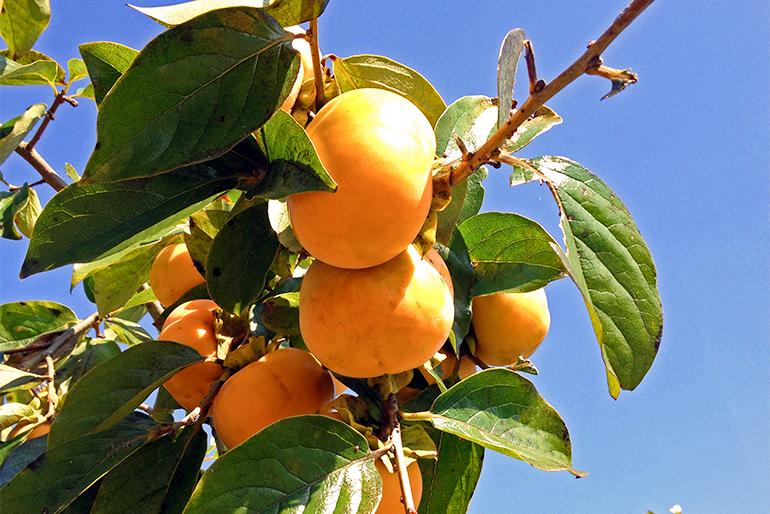 柿の名産地「羽茂地区」
