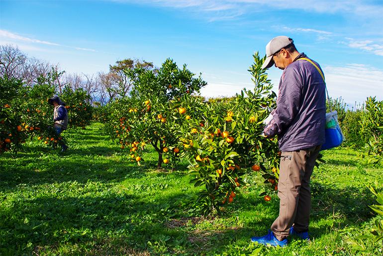 果樹の名産地「佐渡島・羽茂地区」にて栽培