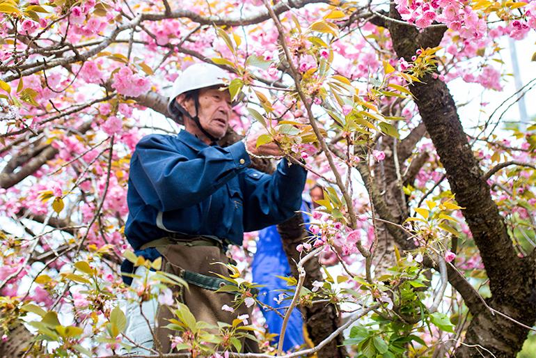 一枚一枚丁寧に摘んだ「五泉市の八重桜」を使用