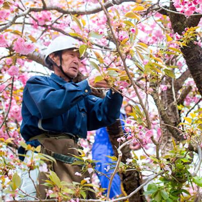 八重桜を丁寧に摘み取ります