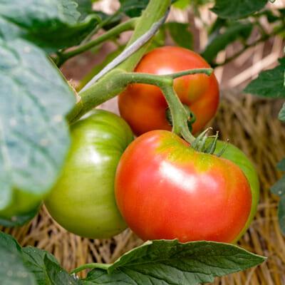 トマト農家では珍しい「自根栽培」
