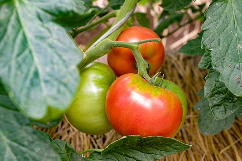 「自根栽培」、トマト自身の根で育ったトマトです