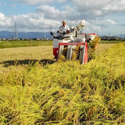 太く頑丈な稲だからこそ美味しいお米が実る