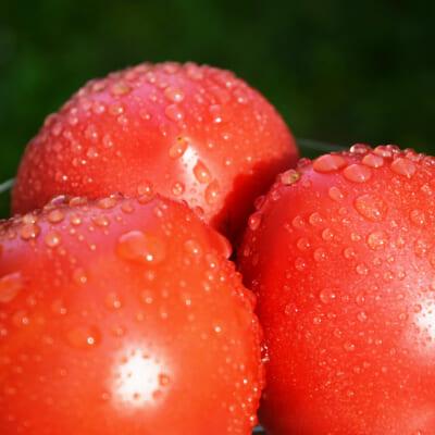 「完熟もぎ」で収穫!食味に優れた大玉トマト