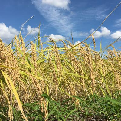 自然の恵みを存分に受けて育つ稲