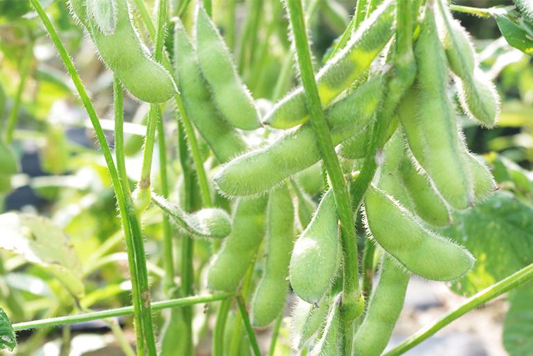 美味しい枝豆をより多くの人へ