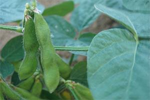 1.枝豆 早生品種:6月下旬~8月上旬