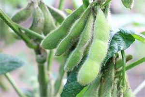 2.茶豆:8月上旬~9月上旬