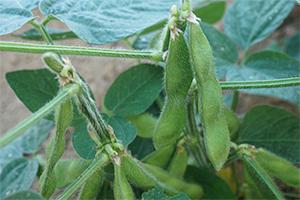 3.枝豆 晩生品種:9月上旬~10月上旬