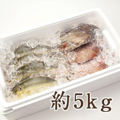 寺泊産 真鯛の鮮魚セット 約5kg