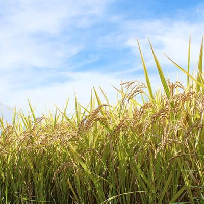 美味しい米作りに最適な「米山山麓の自然」