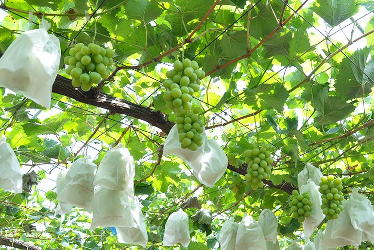 信濃川の恵みを生かした果樹栽培
