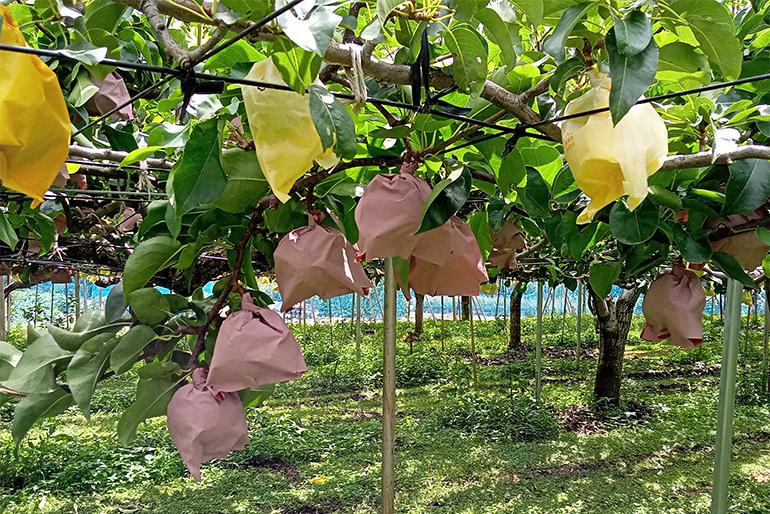 新潟県有数の梨の産地「木津地区」
