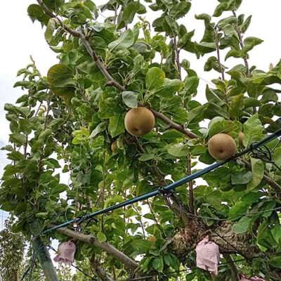 果樹がすくすくと勢いよく生長します