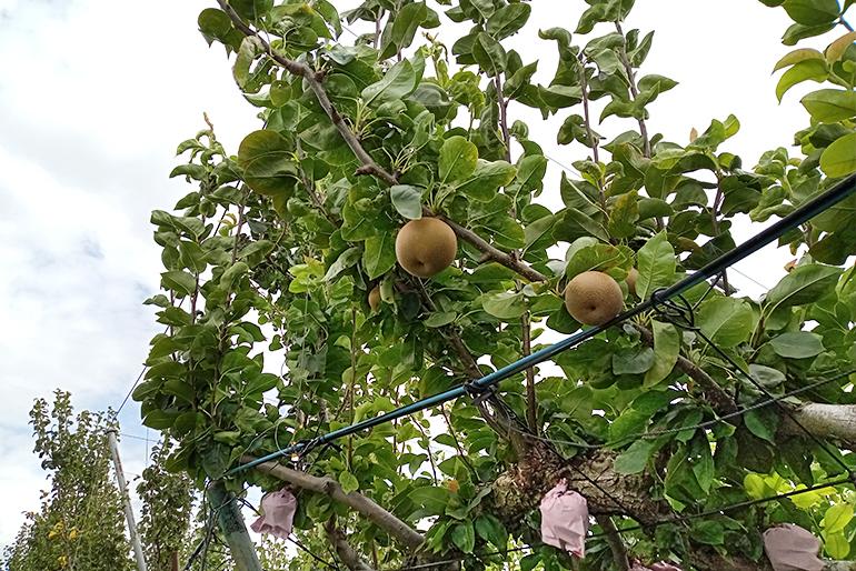 甘みの強い梨が実りやすくなる栽培
