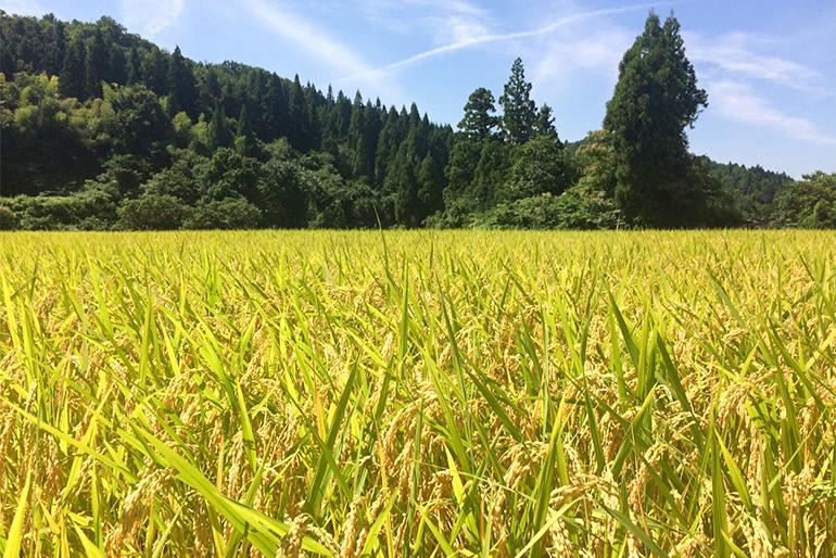 隠れたお米の名産地「七谷地区」