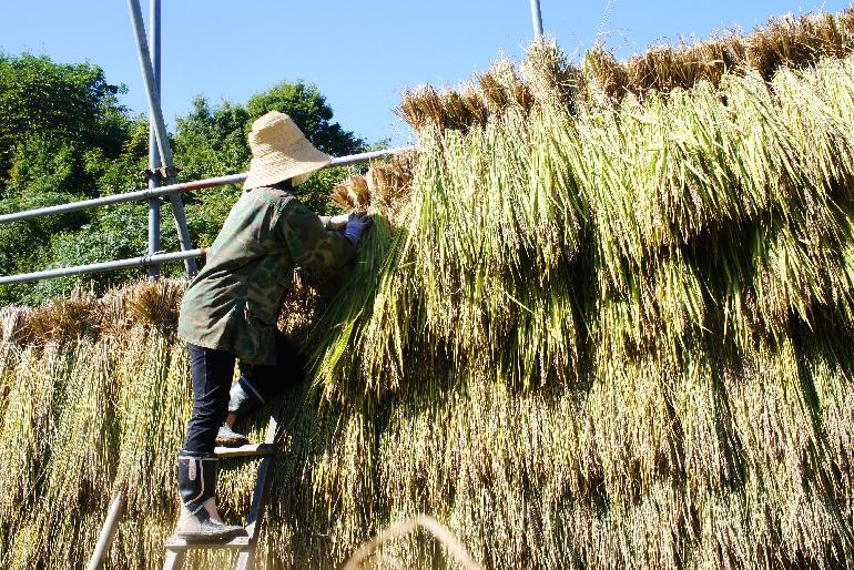収穫後は「はざかけ」をして、自然乾燥させる