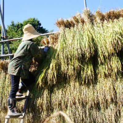 収穫後は昔ながらの「はざ掛け」で乾燥させる
