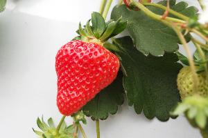 3.高糖度に仕上げる秘訣は「特殊な肥料」