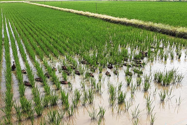 織原農園が実践する「ま鴨農法」