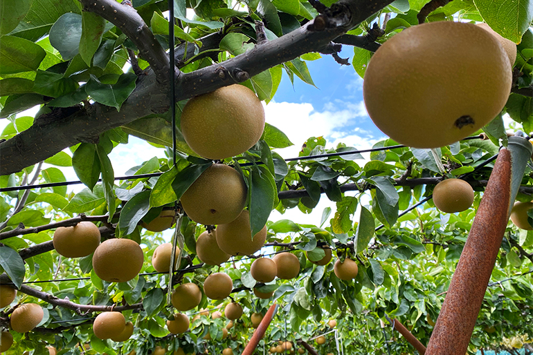 梨好き農家が育てた濃厚な和梨