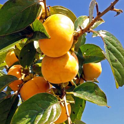 佐渡産の八珍柿