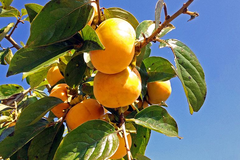 佐渡産の八珍柿とは
