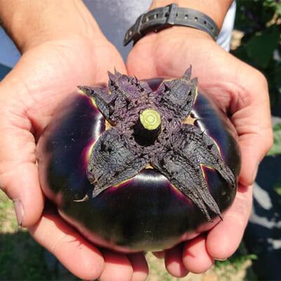 長岡市で100年以上栽培されている伝統野菜「巾着なす」