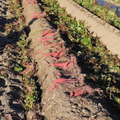 胎内市ならではの砂丘地での栽培