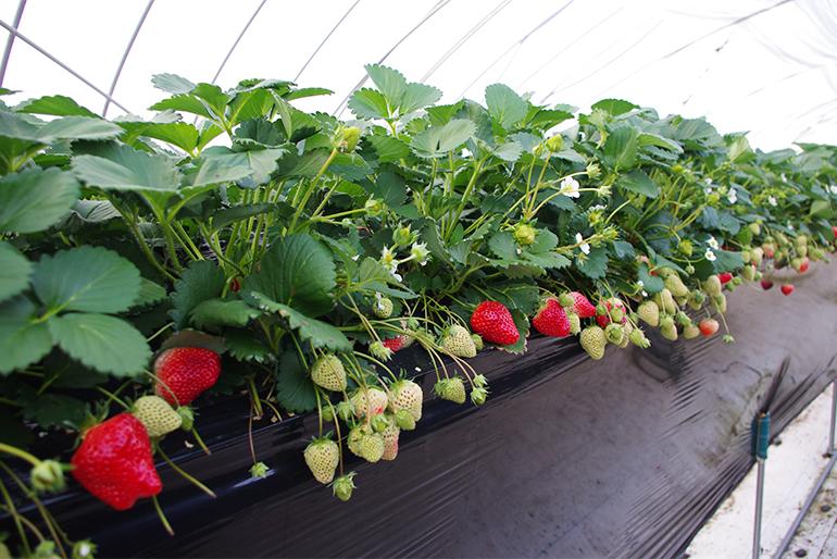 「土で育てた苺」ならではの美味しさを追求