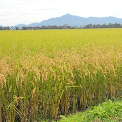 手塩にかけて作った特別栽培米