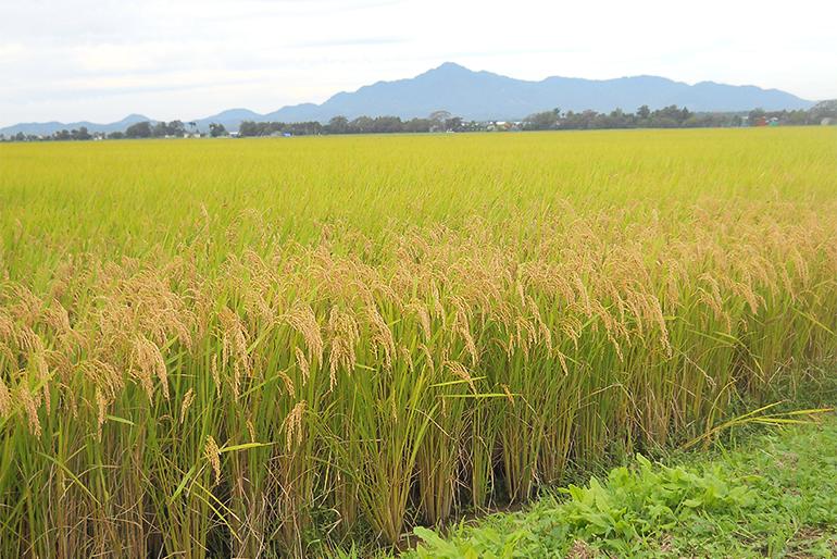 有機肥料を使った特別栽培米