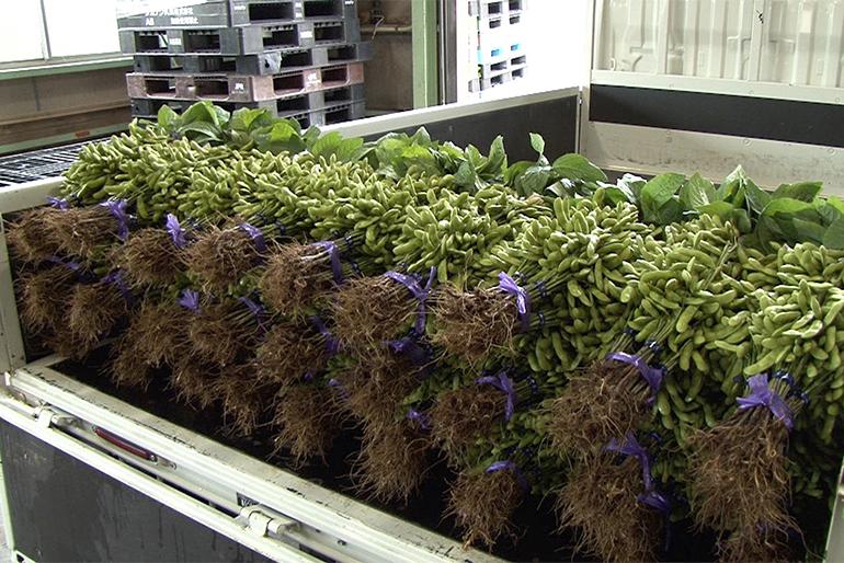 全国でも珍しい、昔ながらの枝付き枝豆