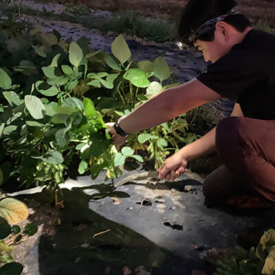 成熟する一歩手前で収穫するのが美味しさの秘訣