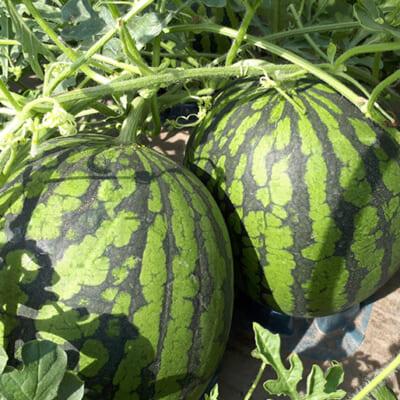 こだわりの栽培で、味もサイズも驚きの品質