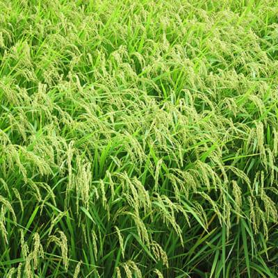 農薬や化学肥料を抑えた「特別栽培米」