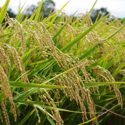 美味しいお米を実らせるミネラル豊富な肥料