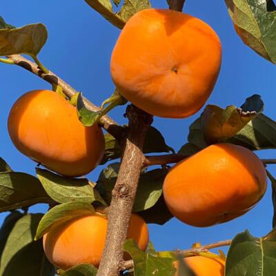 熟した八珍柿は、もう絶品!