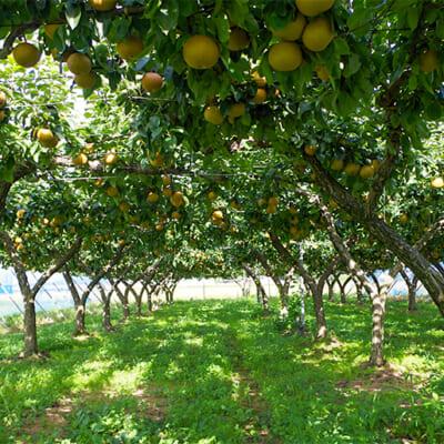 恵まれた自然環境を活かし、甘味の強さを追求した「和梨」