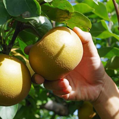 完熟一歩手前の梨を収穫します