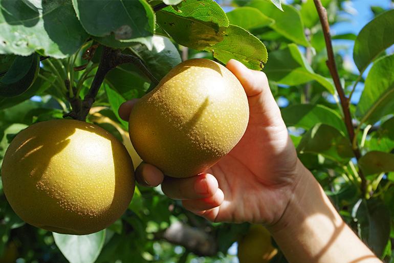 完熟一歩手前の和梨を収穫します