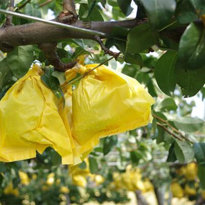 果樹がすくすく育つル・レクチェ畑