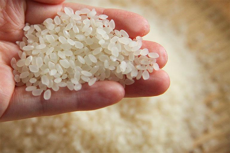 幻のお米「従来品種コシヒカリ」