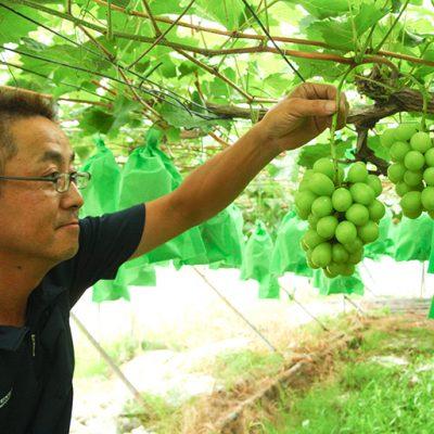 三条果樹専門家集団が栽培するシャインマスカット