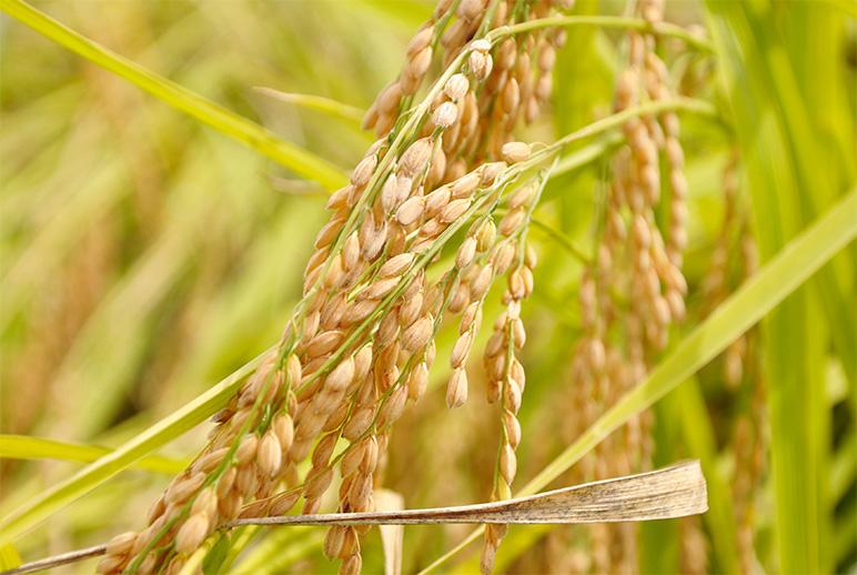 減農薬・化学肥料 特別栽培米