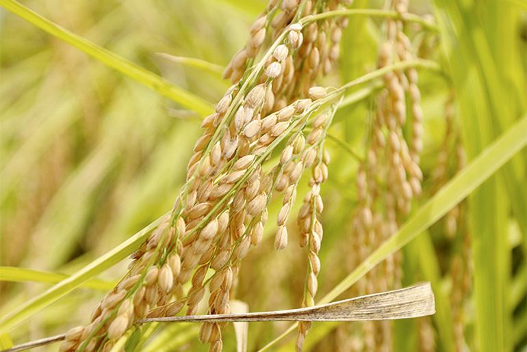 自然の恵みですくすくと。減減農法による特別栽培米