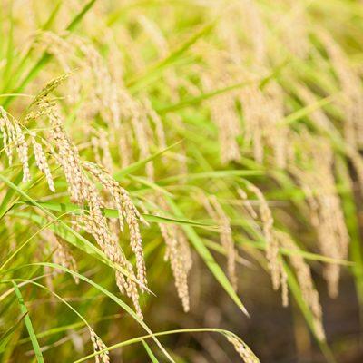 中山間地特有の昼夜の温度差が美味しいお米を生み出します