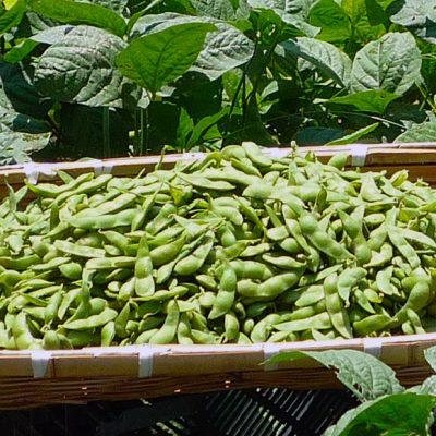 予約注文:新潟産 しんどおり茶豆・枝豆