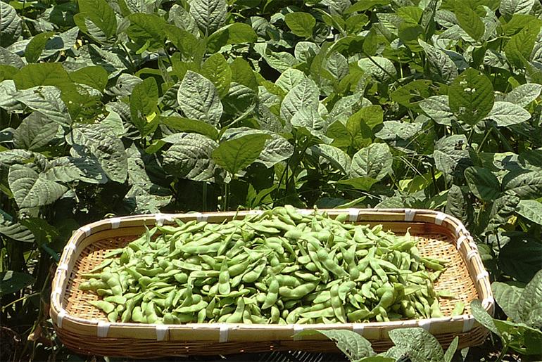 ざるいっぱいのてんこ盛り茶豆!<br>これ、新潟人にとっては当たり前なんです